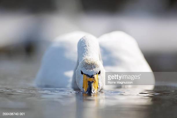 whooper swan (cygnus cygnus) drinking water - one animal stockfoto's en -beelden