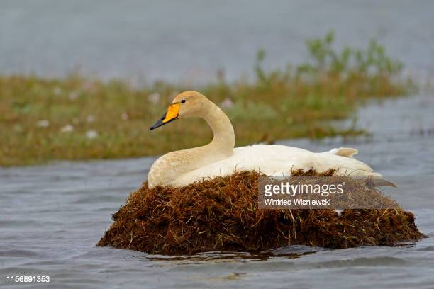 whooper swan in the arctic tundra - tundra stock pictures, royalty-free photos & images