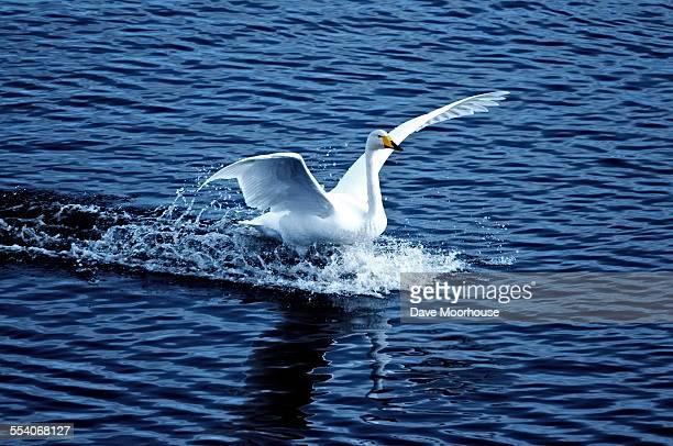 Whooper Swan landing on water
