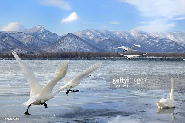 Whooper swan starting the flight