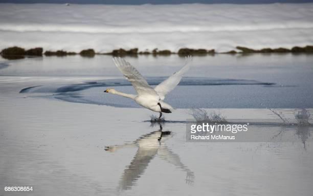 Whooper swan taking off at Vik.