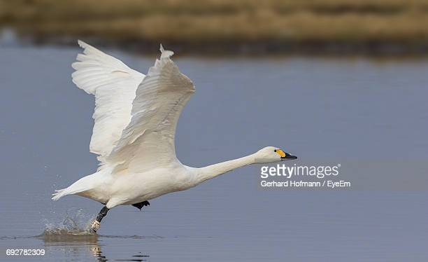 Whooper Swan Taking Off From Lake