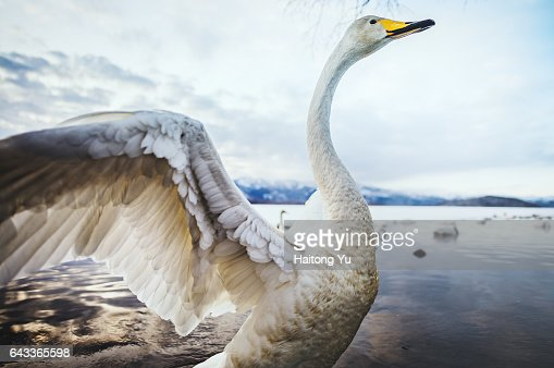 Whooper swan with wings extended