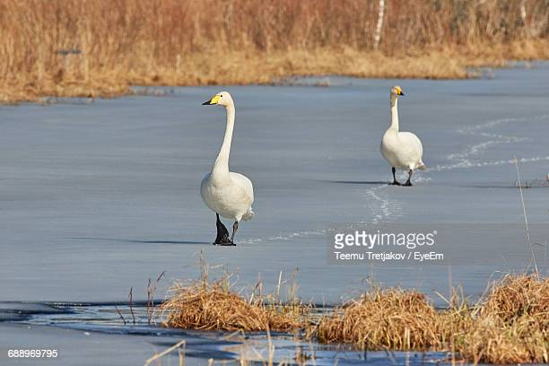 Whooper Swans At Frozen Lakeshore By Grass
