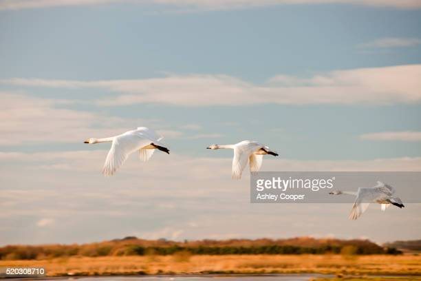 Whooper Swans at Martin Mere bird reserve near Ormskirk, Lancashire, UK.