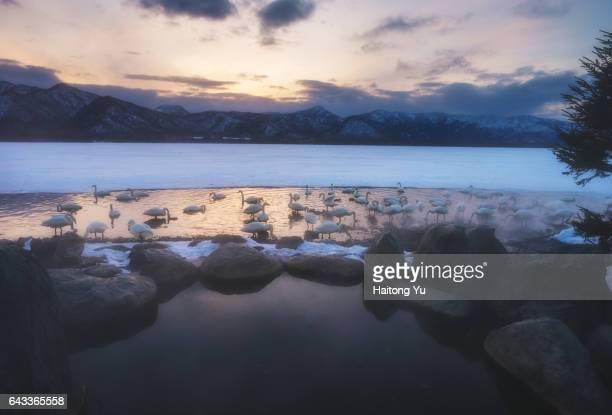 Whooper swans at sunset at Kotan Onsen (hot spring) in Lake Kussharo, Hokkaido, Japan.