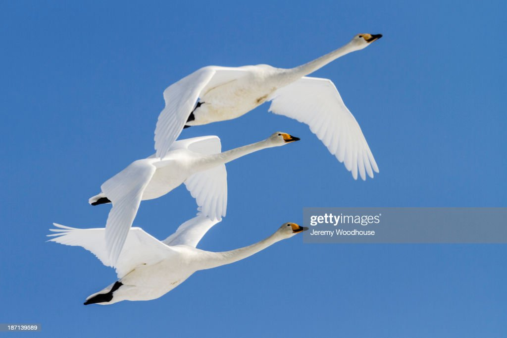 Whooper swans flying in blue sky : Stock Photo