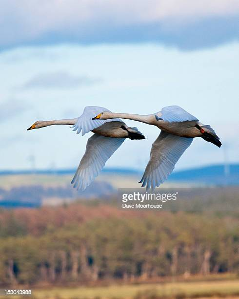 Whooper swans in formation flying