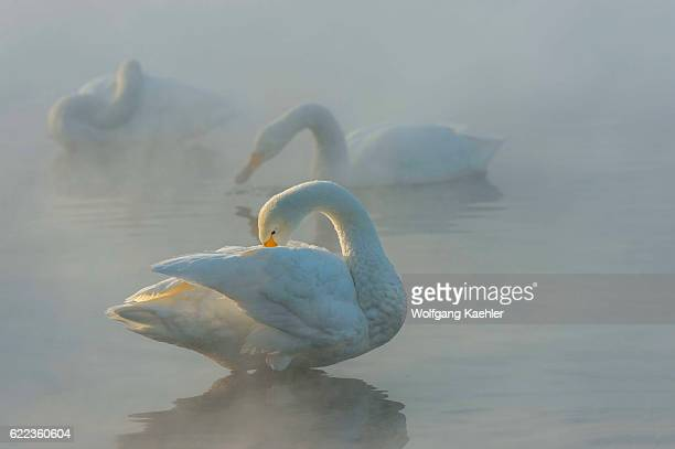 Whooper swans in the open water and steam at the hot springs area of Lake Kussharo which is a caldera lake in Akan National Park eastern Hokkaido...