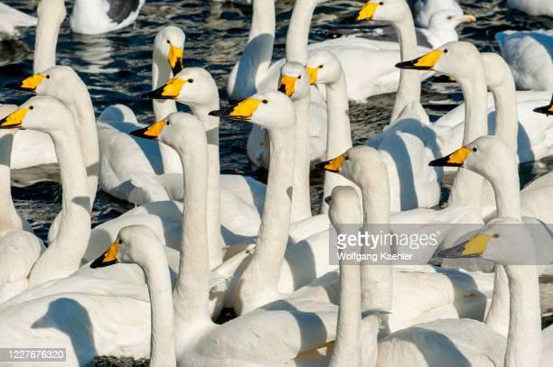 Whooper swans in the winter on a lake near Abashiri, a city located on the Sea of Okhotsk, Hokkaido, Japan.