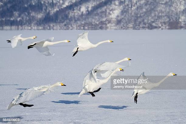 Whooper swans landing on frozen lake