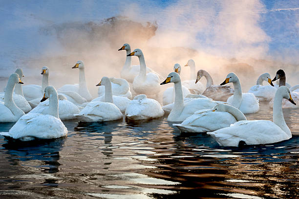 Whooper swans on the surface of a lake in the winter in Hokkaido, Japan