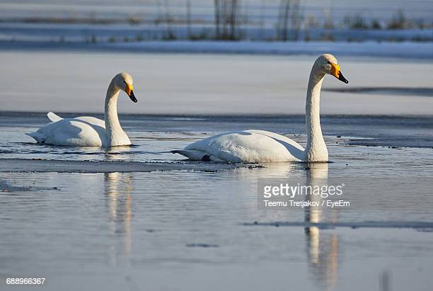 whooper swans swimming in lake - teemu tretjakov stock pictures, royalty-free photos & images