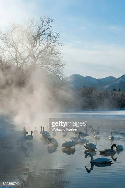 Whooper swans swimming in the open water and steam from the hot springs at Lake Kussharo which is a caldera lake in Akan National Park eastern...