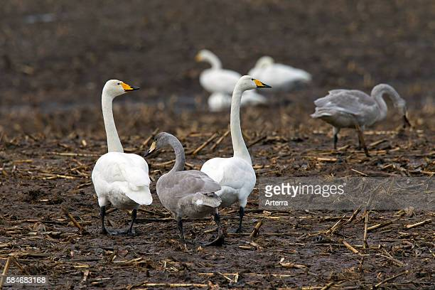 Whooper Swans with juveniles foraging in stubble field