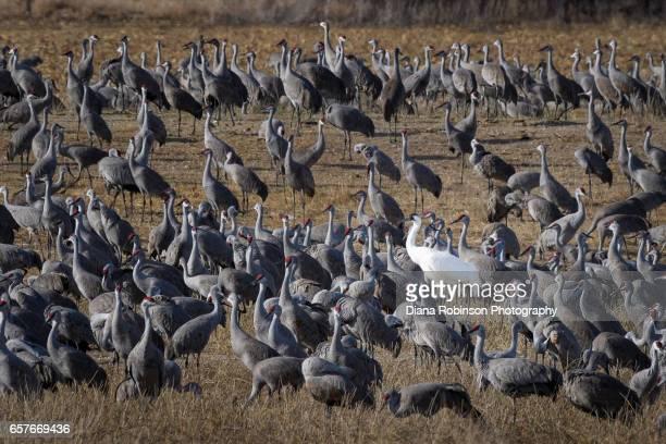 Whooping Crane (Grus americana) in a cornfield with Sandhill Cranes near Gibbon, Nebraska during the annual Sandhill Crane migration
