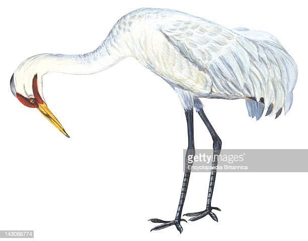 Whooping Crane Whooping Crane