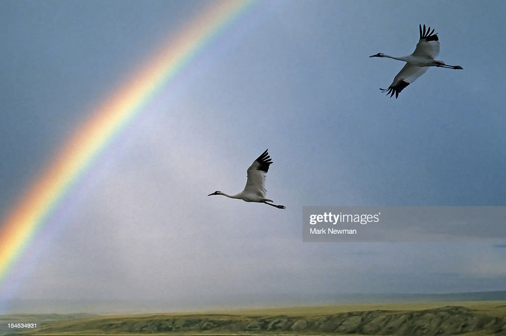 Whooping Cranes flying & rainbow : Stock Photo