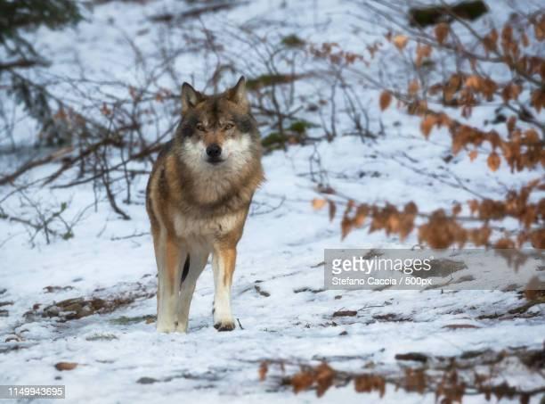 Who's Afraid Of A Big Bad Wolf