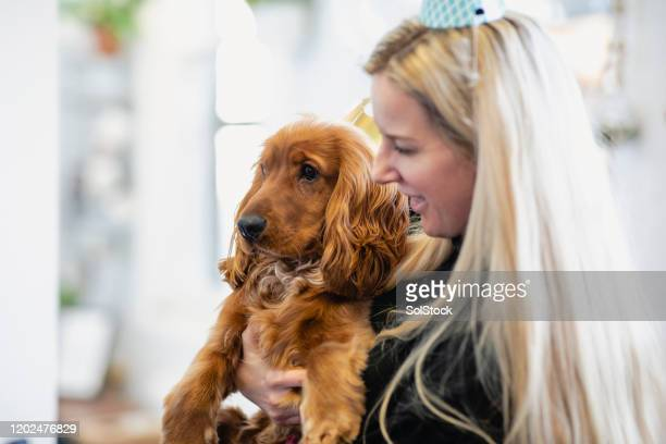 who's birthday is it? - cocker spaniel stock pictures, royalty-free photos & images