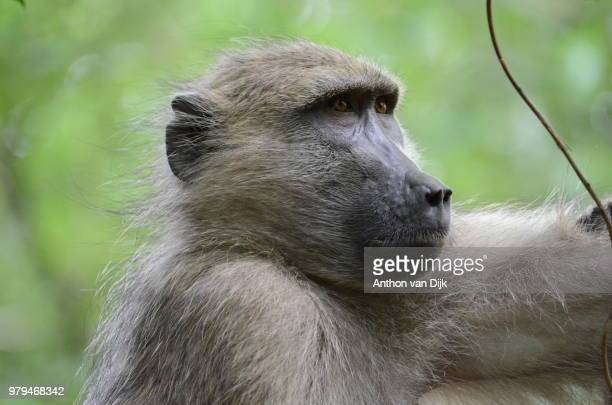 who's the boss? - chacma baboon stock photos and pictures