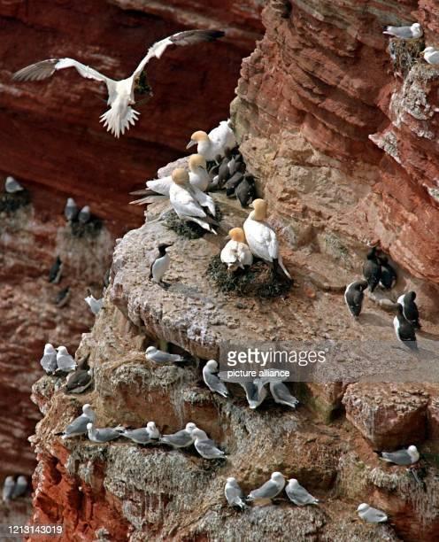 Während eine Silbermöwe noch mit Baumaterial für ihr Nest den Lummenfelsen auf Helgoland ansteuert , haben sich die meisten Baßtölpel und...