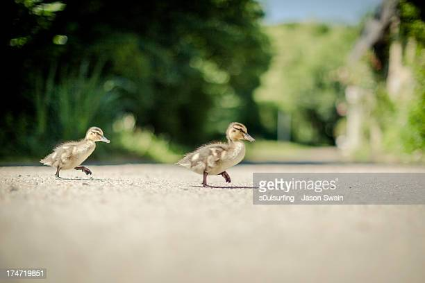 why did the ducklings cross the road? - s0ulsurfing stock pictures, royalty-free photos & images