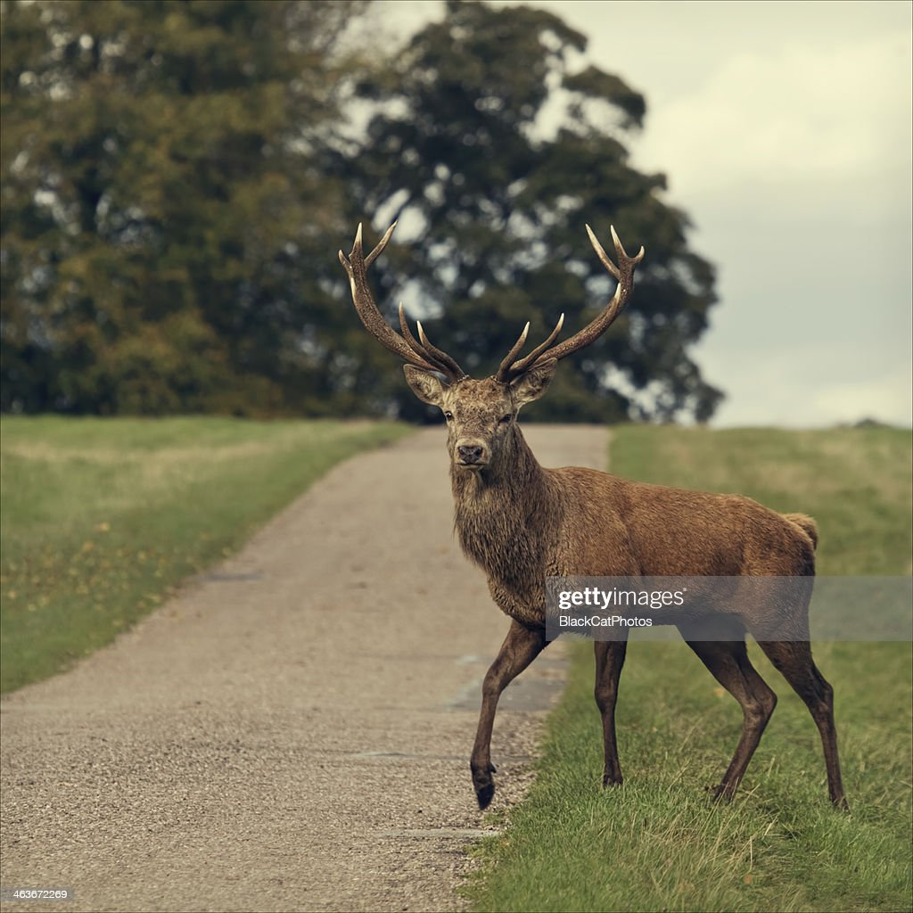 why did the stag cross the road : Stock Photo