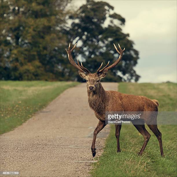 why did the stag cross the road