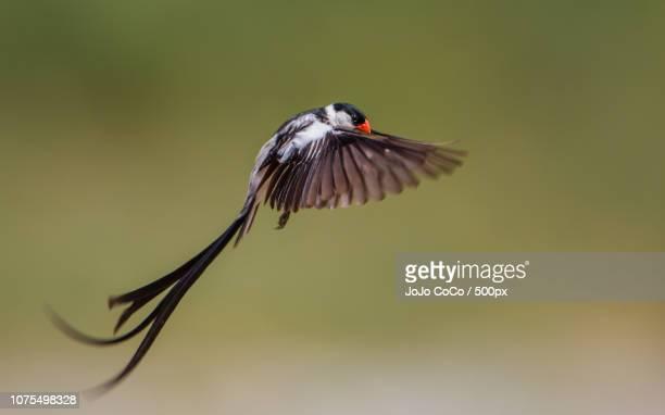 whydah courtship dance - jo wilder stock-fotos und bilder