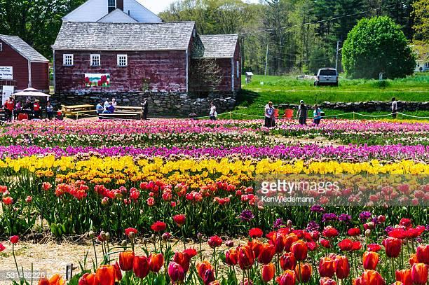 Böse Tulpenfarm