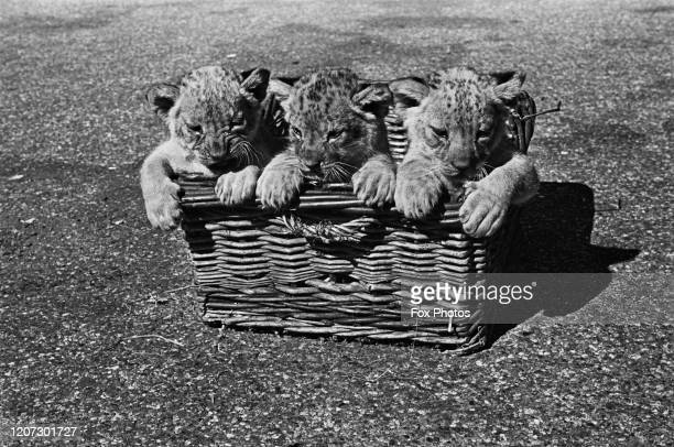 Wicker basket containing three lion cubs at Chessington Zoo in Chessington, Surrey, England, circa 1940.