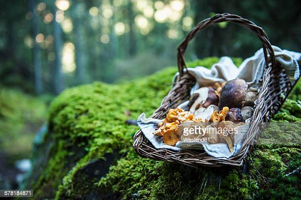 Wickerbasket of collected chanterelles and boletuses in a forest