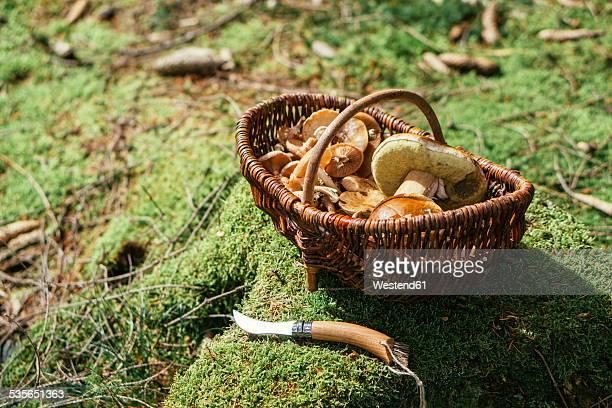Wickered basket of wild edible mushrooms standing on moss-grown soil