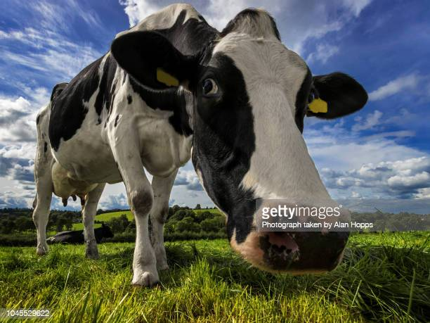 wide angle close up of a holstein cow - milk pack stock photos and pictures