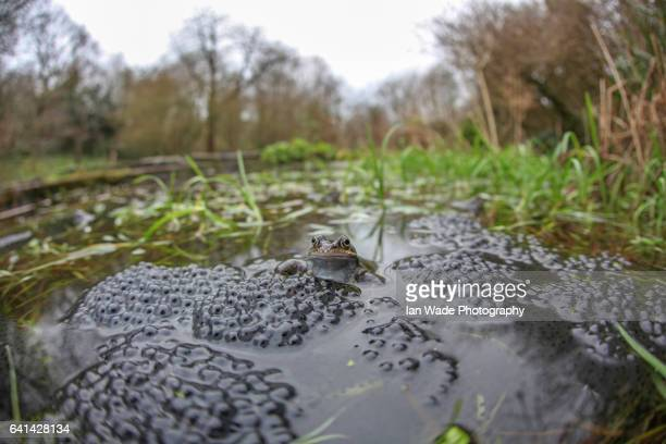 Wide angle common frog surrounded by spawn in a Somerset pond