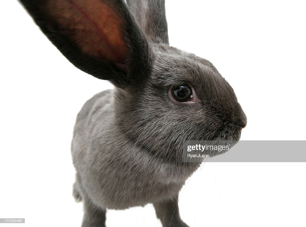 Wide Angle Gray Bunny Rabbit with Copy Space : Stock Photo