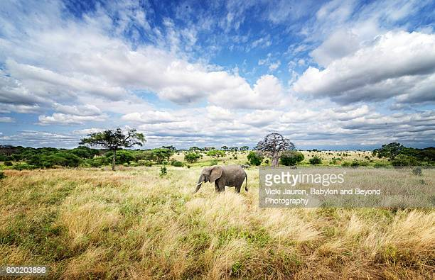 wide angle landscape scene with a single african elephant in tarangire natinoal part - tarangire national park stock pictures, royalty-free photos & images