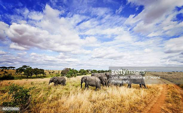 wide angle landscape with elephants in foreground, tarangire national park, tanzania - tarangire national park stock pictures, royalty-free photos & images