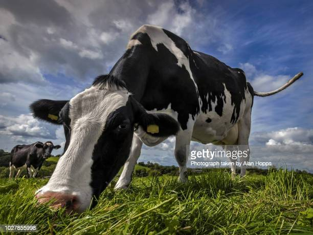 wide angle shot of a holstein cow grazing - food contamination stock photos and pictures