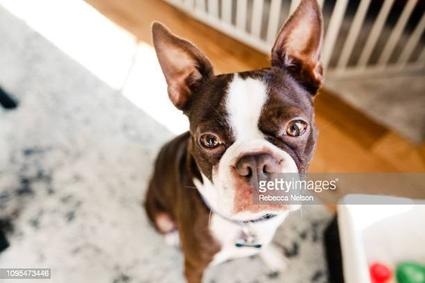 wide angle shot of brown boston terrier dog at home - boston terrier stock pictures, royalty-free photos & images