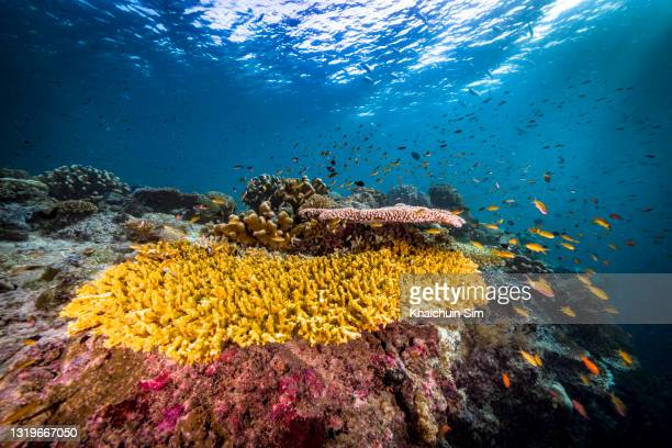 wide angle shot of table coral underwater - underwater film camera stock pictures, royalty-free photos & images