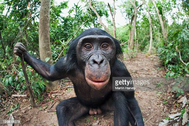 Wide angle view of adult Bonobo (Pan paniscus) Portrait. Mainly eat fruit but also small animals, eggs, earthworms . Sanctuary Lola Ya Bonobo Chimpanzee, Democratic Republic of the Congo