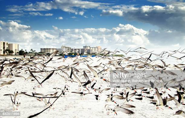 wide angle view of black skimmer (rynchops niger) on beach - fort myers beach stock pictures, royalty-free photos & images