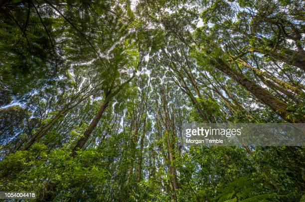 wide angle view of converging forest canopy on the lower slopes of mount kilimanjaro, kilimanjaro region, tanzania. - kilimanjaro stock photos and pictures