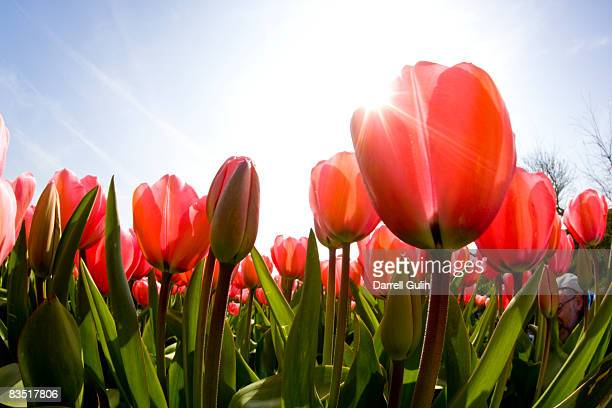 wide angle view of red tulip field - tulipano foto e immagini stock