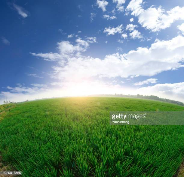 wide angle view of rice paddy field in a sunny date,anhui province,china - 魚眼撮影 ストックフォトと画像