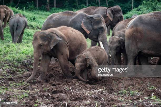 wide angle view wildlife of groups of  elephants herd in the wild at northern thailand - säugetier stock-fotos und bilder