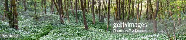 wide panorama of wild garlic in an english woodland - sycamore tree stock photos and pictures