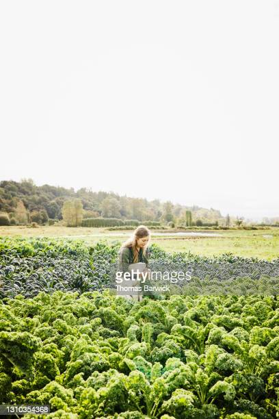 wide shot of female farmer bundling organic kale during harvest on fall morning - responsibility stock pictures, royalty-free photos & images